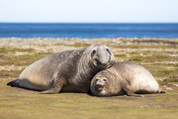 Pair of Southern Elephant Seals (Mirounga leonina) Falkland Isla
