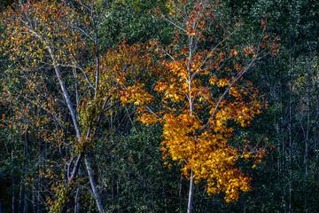 Autumn Leaves. Lonely beautiful autumn tree.