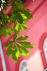 The leaves of chestnut on a background of red building