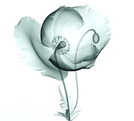 x-ray image of a flower isolated on white , the poppy