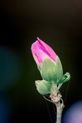 Bouton de Hibiscus syriacus