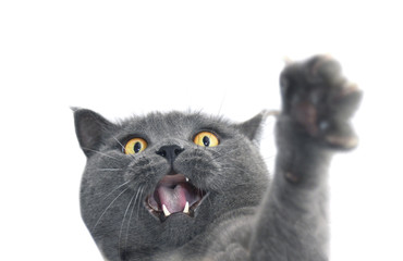 British shorthair cat crazy expression