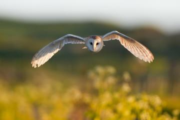 Barn Owl flying head on Fototapete