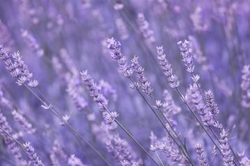 Violet color sunny blurred lavender flower field closeup