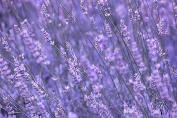 Violet color sunny blurred lavender flower field closeup