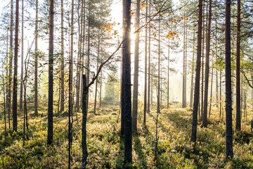 Early sunrise in hazy forest
