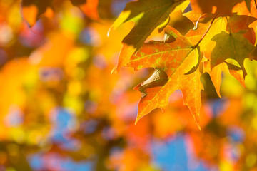 Autumn maple leaves on a tree branch