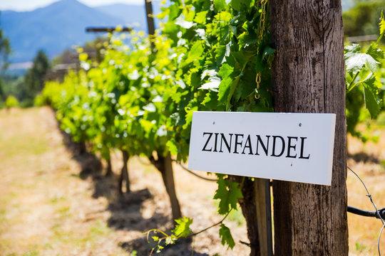 Vineyard Grape Growing