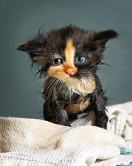 little wet kitten after bathing on blue background