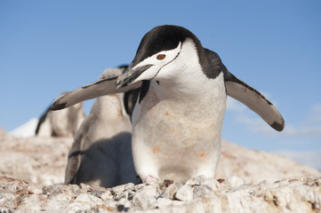 Chinstrap Penguin in Anatcrtica