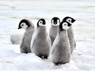 Foto op Canvas Pinguin Emperor Penguin Chicks