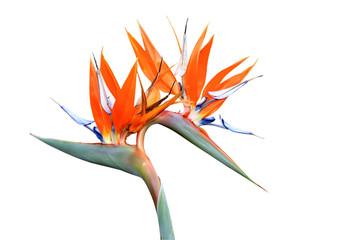 Double headed strelitzia or bird of paradise flower isolated on white background