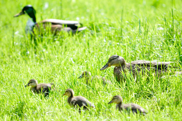 Family of ducks walking in grass