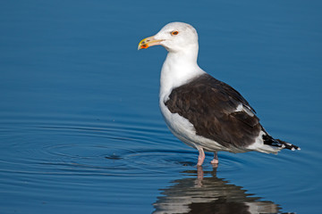 Great Black-backed Gull Standing in Water Wall mural