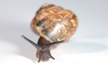 The live snail on white background