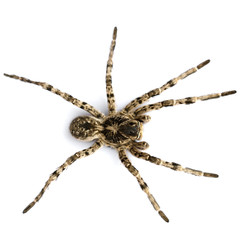 A large spider on a white background
