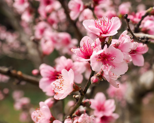 Peach Blossoms Pink 3