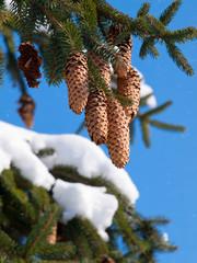 Fir apples in winter