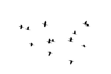 flying of flock birds silhouette on white background