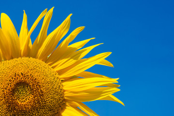 Summer background, bright yellow sunflower over blue sky