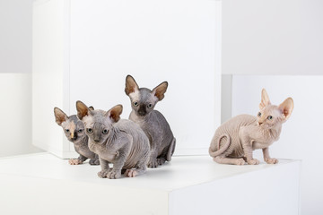 sphinx cat family