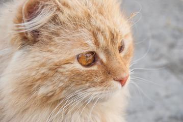 red cat close-up portrait