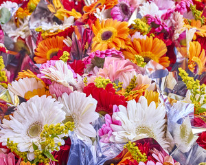a feast of colorful gerberas, natural background