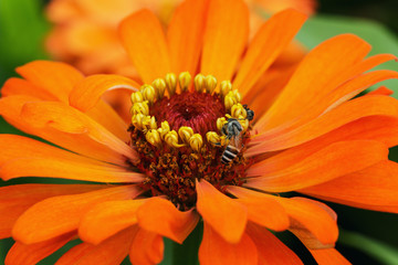Bee on the orange flowers close up