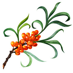 sea buckthorn berries branch isolated on the white