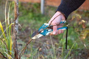 Female hand with shears cuts the vine in the fall to increase the yield