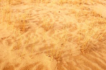 Grass in the desert sand, Central part of Oleshky Sands in spring,  Kherson Oblast