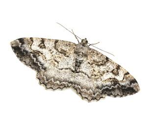Female mottled beauty geometridae moth Alcis repandata isolated on white background