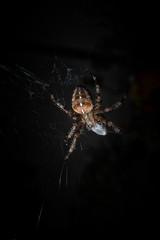 garden spider, diadem spider, cross spider, or crowned orb weave