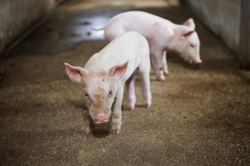 Naughty little piglet on a farm.