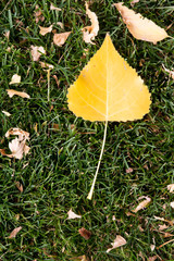 Yellow aspen leaf on green grass