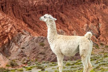 White llama in front of colorful rock formations near Purmamarca village (Quebrada de Humahuaca valley), Argentina
