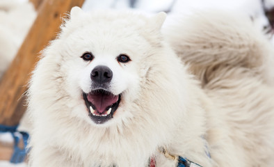 Cute samoyed dog in the winter