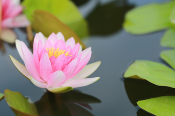 Pink lotus in a pond with bloom in the Morning.