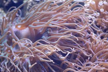 Heteractis magnifica anemone in underwater.