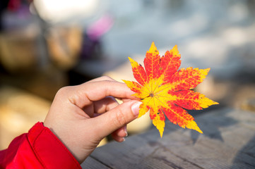 Wall Mural - Autumn maple leaves in girl hands.