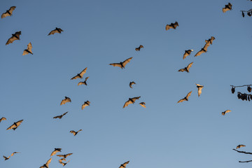 Little red flying-foxes in flight