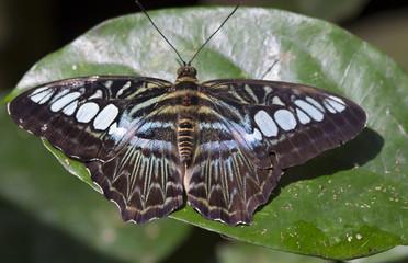 Бабочка Сильвия тигровая