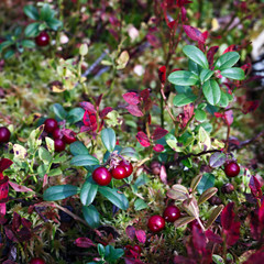 Ripe red cowberry bush branches