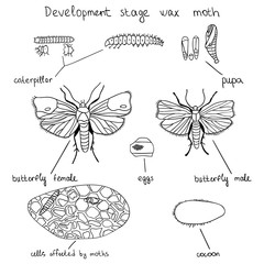 Development stage wax moth