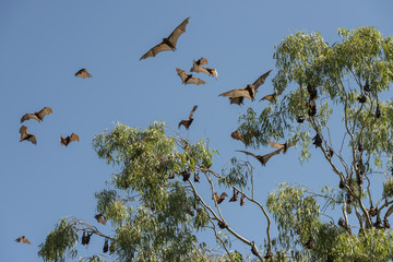 Little red flying-foxes roosting on an inland white mahogany tree and taking flight.