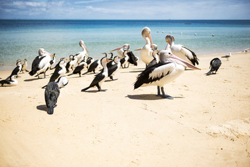 Pelicans and other birds resting on the beach during the day at Tangalooma Island in Queensland on the west side of Moreton Island.