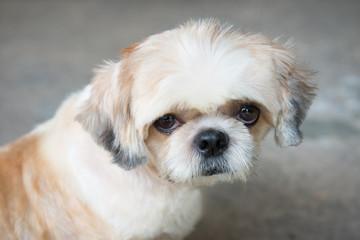 Close up Pomeranian Puppy Dog. (Selective Focus)