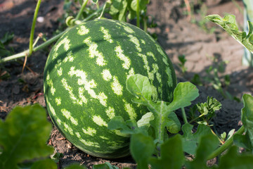 watermelon in the garden lying on the ground
