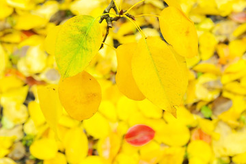 Yellow leaves of pear on a branch close-up