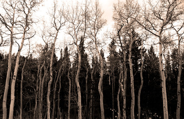 A scary forest of Aspen Trees in the Autumn Fall
